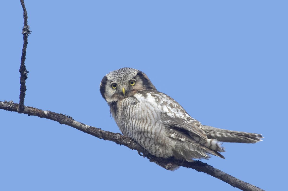 Hiiripollo_9022 (Surnia ulula) Hawk Owl Oulu May 2007