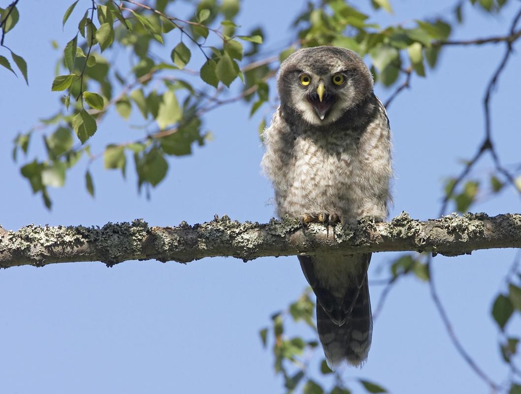 Hiiripollo_9028 (Surnia ulula) Hawk Owl Liminka July 2006