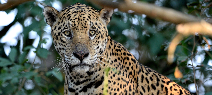 Jaguar_B_1881