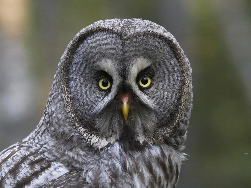 Lapinpollo 2421 (Strix nebulosa) Great Grey Owl Ruukki Finland July 2008