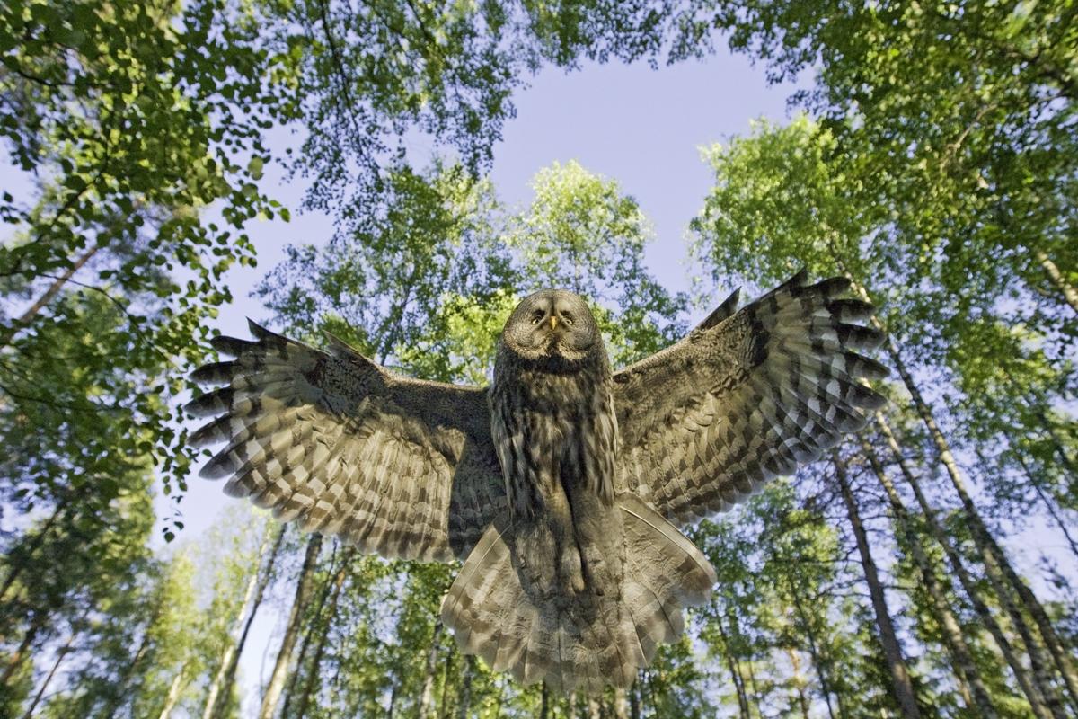 Lapinpollo 0464 (Strix nebulosa) Great Grey Owl Ruukki Finland June 2008