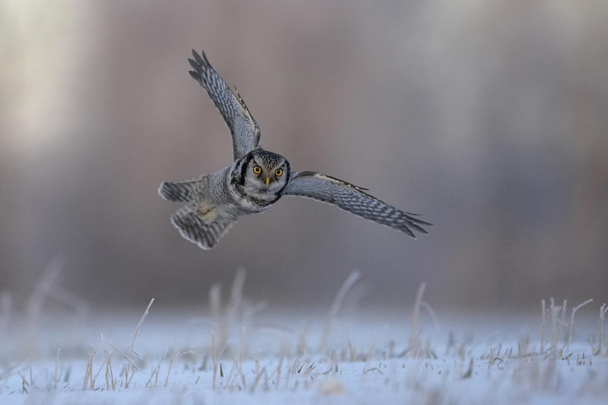 Hiiripollo_0182 (Surnia ulula) Hawk Owl Liminka Finland December 2005