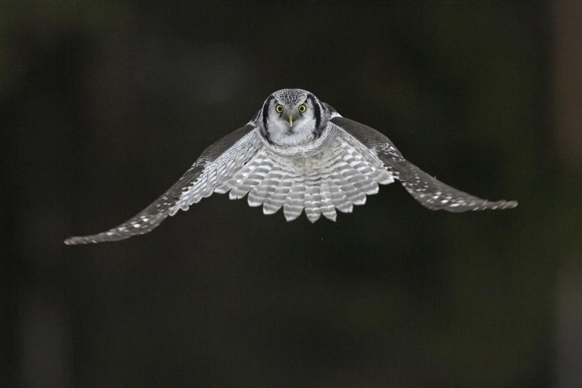 Hiiripollo_4091 (Surnia ulula) Hawk Owl Liminka Finland December 2005