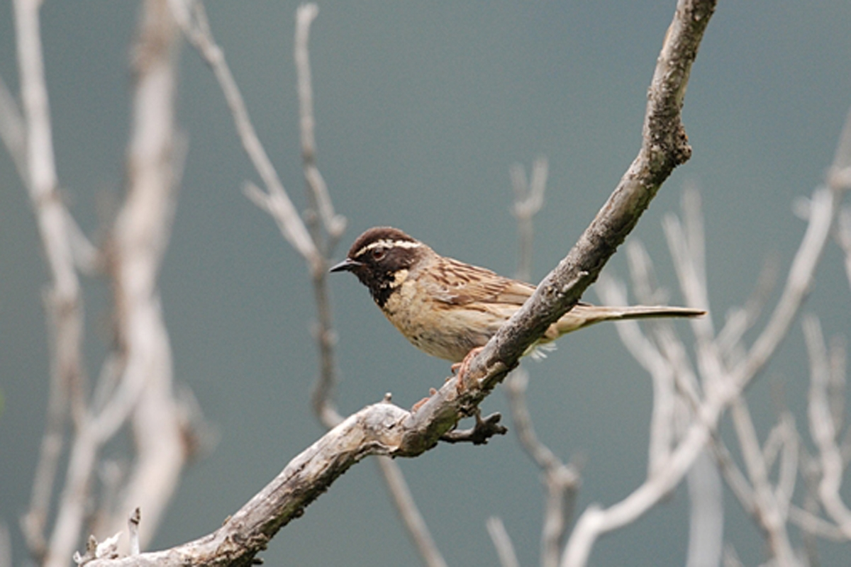 BlackthroatedAccentor