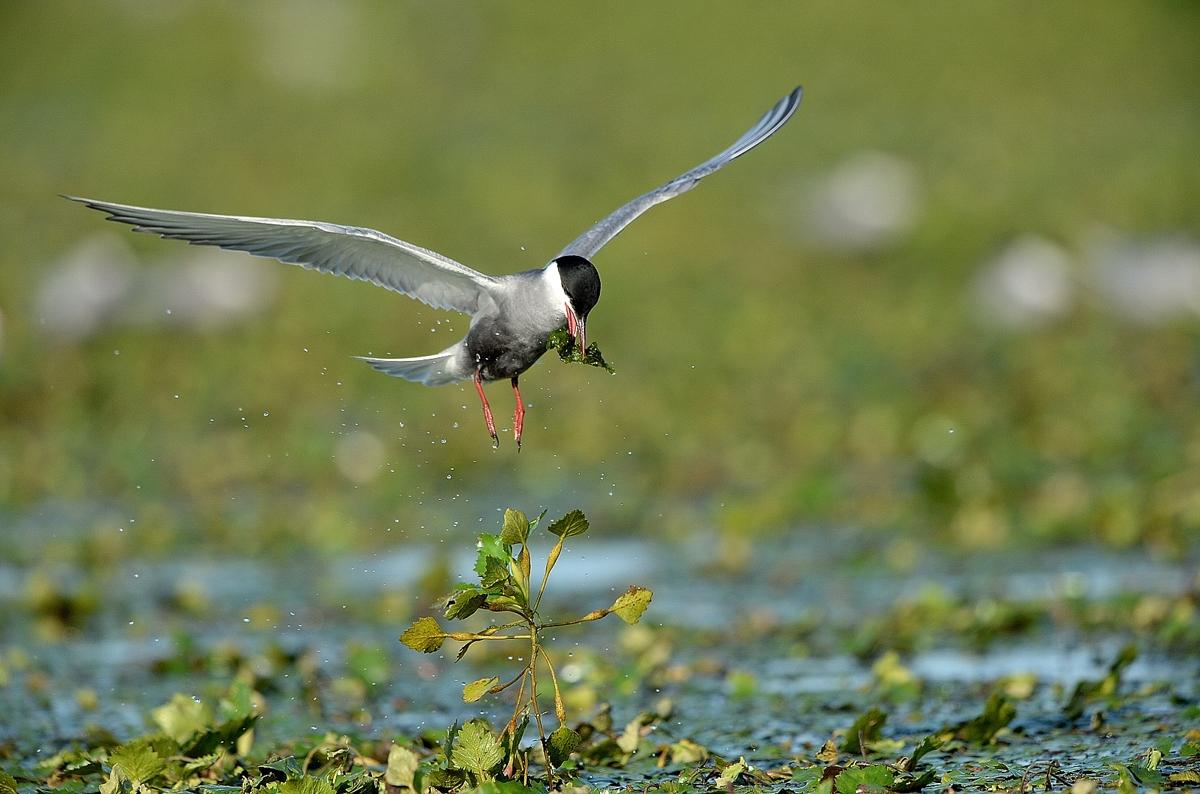 Flussseeschwalbe_B.6316_72dpi