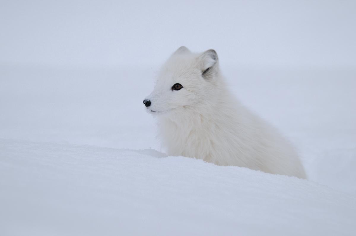 Polarfuchs-2_B_207
