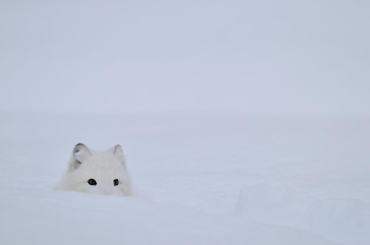 Polarfuchs_B_199