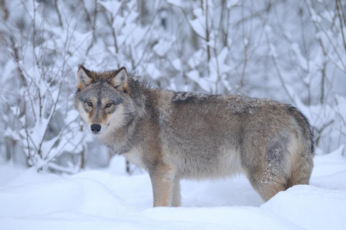 Wolf_B_029i