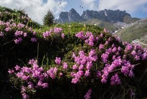 Alpenrosen_62x92