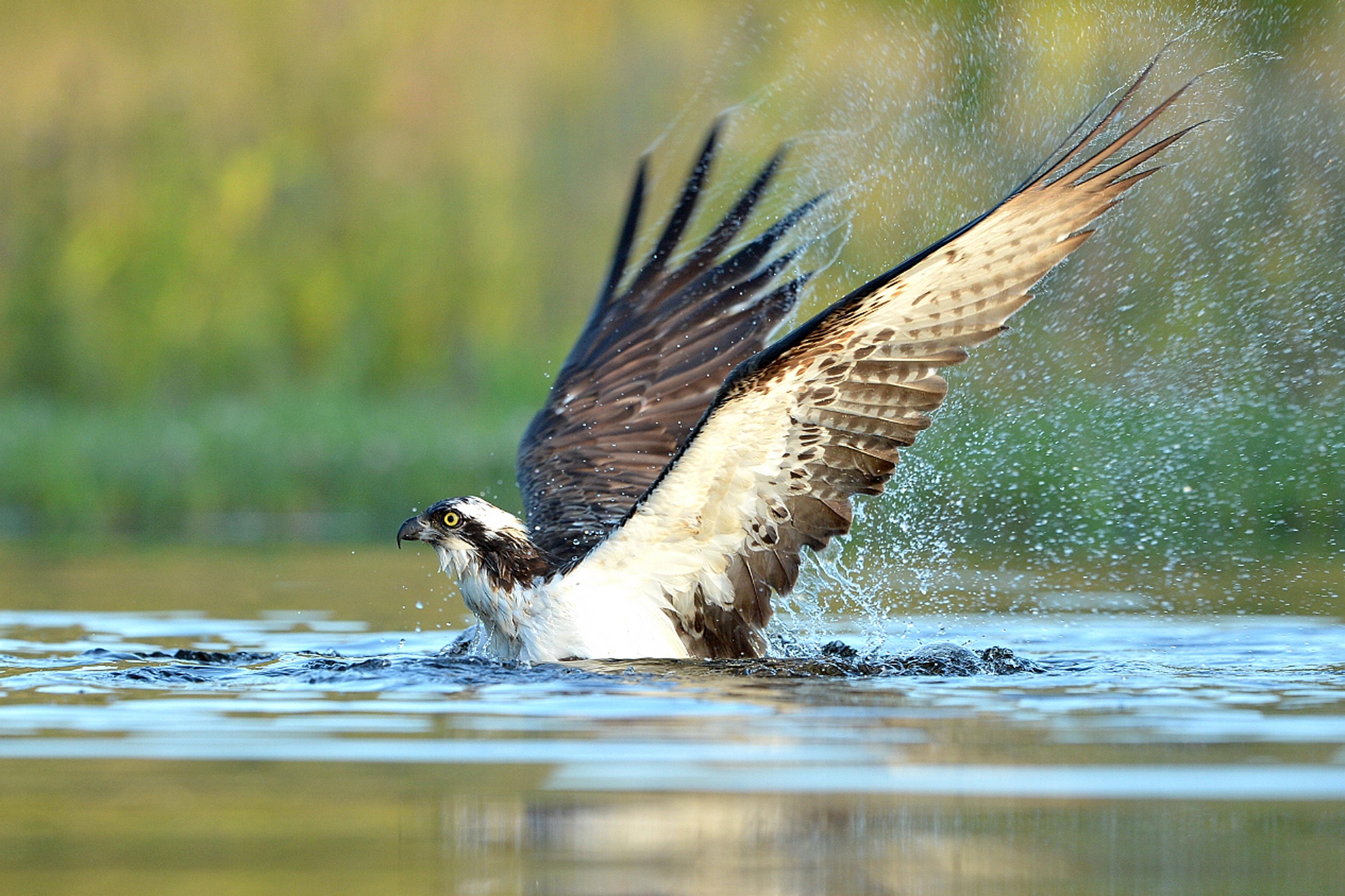Fischadler_Wasser_B_A