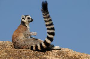 jg_katta-lemur
