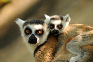 jg_katta-lemuren