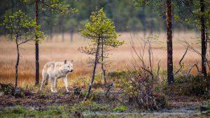 wolf-links